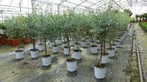 eucalyptus gunni stamm eukalyptusbaum 50 kaufland de