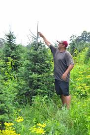 Ticks On Christmas Trees by It Takes A Lot Of Work To Produce Good Christmas Trees The