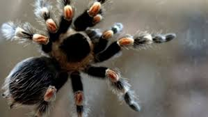 Spider Phobia Cured With 2-hour Therapy | Fox News Does Anyone Else Like Cars Tarantula Forum The Setup That All The Tech Obssed Nerds Are Using Shark Wheels High Quality Rc Quadcopter Upper Body Cover Shell Accessory Yizhan Pin By Chris On Trucks Pinterest Rigs Peterbilt Indiana Man Warns Locals To Beware Of Giant Spiders After Spotting Dead Thejournalie Victor Ehart Youtube Kids Tour Mexican Stock Photos Images Alamy Wall Vinyl Decal Sticker Animals Insect Spider Art Deepfried Tarantula Allegations Deliciousness