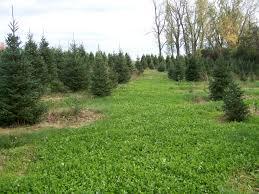 Christmas Tree Saplings Ireland by Grow Trees Not Weeds Weed Control Strategies In Christmas Tree