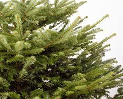 Fraser Fir Christmas Trees Uk by Looking For A Real Christmas Tree Seven Places To Buy Them And