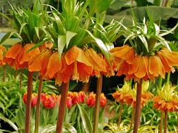 fritillaria imperialis crown imperial world of