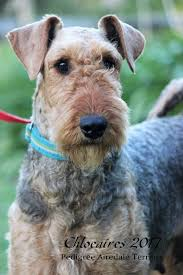 Do Airedale Puppies Shed by Chloeaires Airedale Terriers Home Facebook