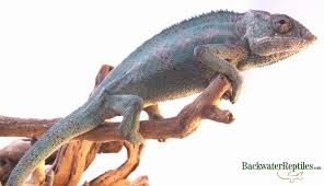 African Dwarf Frog Shedding Or Sick by How To Tell If Your Lizard Is Ready To Shed