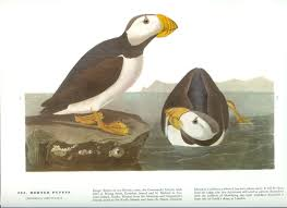 John James Audubon Bird Print Horned Puffin Vintage