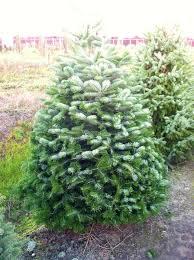 Nordmann Fir Christmas Trees Wholesale by Nordmann Fir Palmer U0027s Christmas Trees