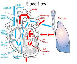 The Heart Has Four Chambers Two On Right And Left Each Side A Priming Pump Atrium Main Pumping Chamber Ventricle