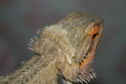 bearded dragon shedding in patches 100 images odd behavior