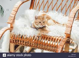 Cute Domestic Ginger Cat Lying On Rocking Chair In Living ...