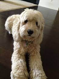 114 best my cockapoo images on pinterest poodle mix