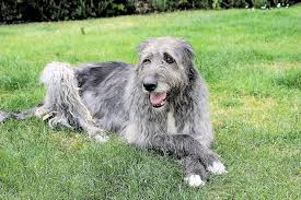 What Dog Sheds The Most by The Most Popular Big Dog Breeds In America Pets Azdailysun Com