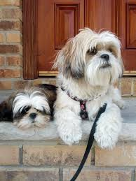 If you adore Shih Tzu dogs then you will absolutely love our