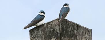 Swallows And Martins | Oregon Department Of Fish & Wildlife Flying Barn Swallow Stock Photo Image Of Swift Martin 13408420 Perching Birds Lake Apopka Wildlife Audubon Guide To North American Ebirdr Watercolor Blue Bird On Stock Illustration 302720159 Warsciowestronytop Words On Another Blog First Chicks Swallows Including And Tree