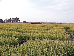 Del Oso Pumpkin Patch Lathrop Ca by Dell U0027osso Farms Corn Maze Outdoor Mazes On Waymarking Com