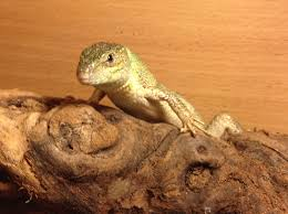 Bearded Dragon Shedding Nostrils by Top Tips Angell Pets U2013 The Friendliest Pet Shop In Gloucester
