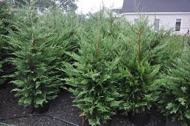 Leyland Cypress Christmas Tree by Trees And Shrubs Wholesale U0026 Retail Nursery Stock