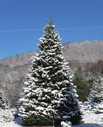 Frasier Christmas Tree Cutting by River Ridge Tree Farm North Carolina Fraser Fir