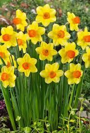 buy narcissus sealing wax bulbs unwins seeds