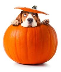 Turkey And Pumpkin For Dog Diarrhea by The 25 Best Canned Pumpkin For Dogs Ideas On Pinterest Can Dogs