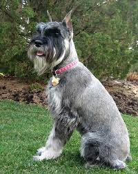 Do Giant Schnauzer Dogs Shed Hair by Giant Schnauzer Into Three Major Types Namely Giant