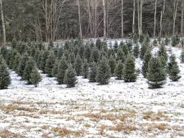 Canaan Fir Good Christmas Tree by The Northern New York Gardener We U0027ve Got Your Christmas Tree