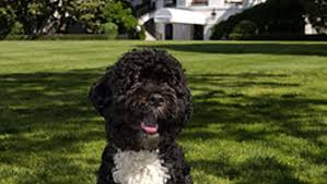 Hypoallergenic Dogs That Dont Shed Much by Hypoallergenic Dogs Won U0027t Help Allergy Sufferers Much Says Study
