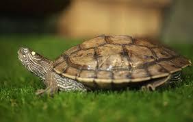 turtles shedding scutes do turtle shells peel