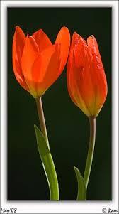 darwin tulip bulbs apeldoorn elite dutchgrown皰 garden