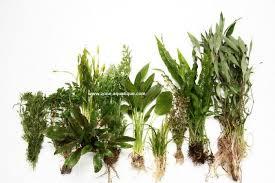 lot de plantes pour aquarium de 80 à 120 litres zone aquatique