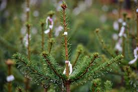 Best Solution For Live Christmas Trees by Best Places To Cut Your Own Christmas Tree In Minnesota Wcco