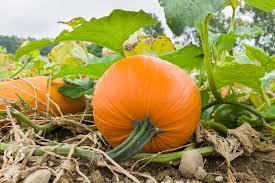 Fertilizer Requirements For Pumpkins by Growing Pumpkins Eden U0027s Garden