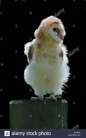 7 Week Old Barn Owl Stock Photo, Royalty Free Image: 7520169 - Alamy Standing Twelve Weekold Barn Owl Side View Stock Photo Getty Images Boxes South Downs National Park Authority Old Man Of Minsmere Aka John Richardson Gorgeous Birds In Folklore Owls And Ravens Randomdescent Orbit The 5 Weekold Baby Who Has Been Hand Ared By Owl Wikipedia Coda Falconry On Twitter Our 7 Week Old Barn Was Bred At Dont Go Deaf New Zealand Geographic Australian Masked Rescuing Owls Tropic Wonder Audubon Art Print Vintage Nature Bird Eyfs Blog Archive Wise