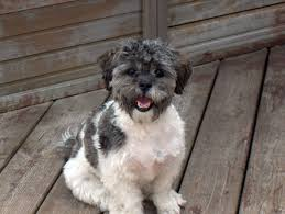 Shih Poo Shih Tzu Poodle Mix Facts Temperament Training Diet