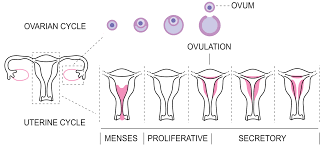 Uterine Lining Shedding Period by Getting Your First Period Menarche Sexinfo Online
