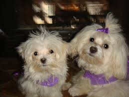 Sheltie Shedding Puppy Coat by Losing Puppy Coat Maltese Dogs Forum Spoiled Maltese Forums