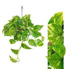 10 zimmerpflanzen die wenig licht brauchen