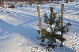 Christmas Tree Saplings Ireland by Seedling Of Christmas Tree Stock Image Image Of Parks 85931189