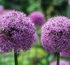 how to plant and grow allium bulbs