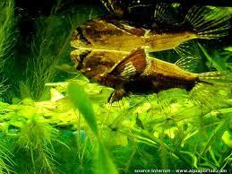 poisson eau douce aquarium tropical pantodon buchholzi poisson papillon d eau douce élevage