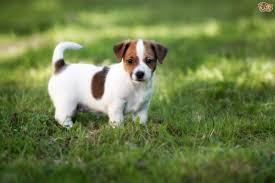 Dogs That Dont Shed A Lot by Jack Russell Dog Breed Information Buying Advice Photos And