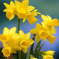 500 x tete a tete narcissus bulbs easy to grow flowers