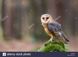 Common Barn Owl Tyto Alba Schleiereule Stock Photo, Royalty Free ... Common Barn Owl 4 Mounths In Front Of A White Background Stock Royalty Free Images Image 23603549 Known Photo 552016159 Shutterstock Owl Wikipedia 644550523 Mdc Discover Nature Tyto Alba Perched On A Falconers Arm At Daun Audubon Field Guide Mounths Lifeonwhite 10867839 Barnowl 1861 Best Owls Snowy Saw Whets Images Pinterest Photos Dreamstime