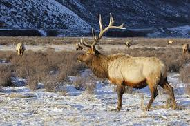 Elk Shed Hunting Utah by Utah Officials Close Shed Hunting In 11 Counties Due To Weather