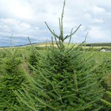 Fraser Fir Christmas Trees Uk by Gallery Scottish Christmas Trees