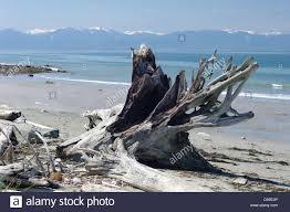Driftwood Christmas Trees Devon by Large Driftwood On Beach Stock Photos U0026 Large Driftwood On Beach