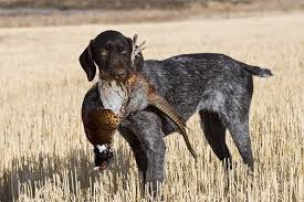 german shorthaired pointer shed the german wirehaired pointer a bird that does aspx maxsidesize 660 width 440 height 500