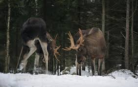 Moose Shedding Their Antlers by 10 Gigantic Facts About Moose Mental Floss