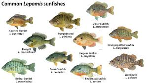 Pumpkin Seed Sunfish Pictures by Perch Bream And Sunfish U2013what U0027s The Difference The Fisheries Blog