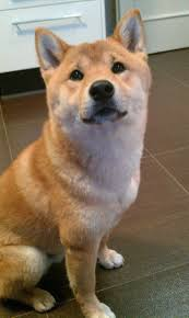Do Shiba Dogs Shed by 244 Best Shiba Inu Images On Pinterest Shiba Inu Puppies