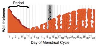 Thick Uterine Lining Shedding During Period by Uterus Lining Shedding During Period 100 Images The Building